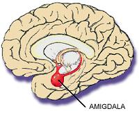 external image amigdala.jpg