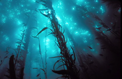 Misterioso Recorrido Bosque_de_kelp