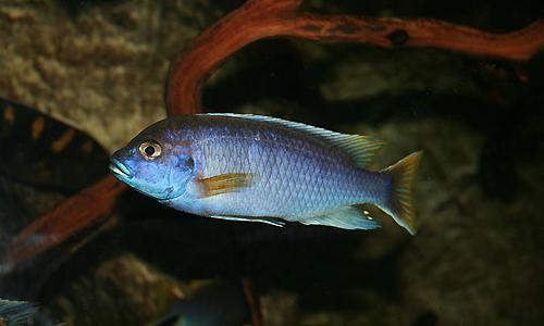 Sobre la biodiversidad del lago Malawi