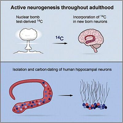 Demuestran la neurogénesis humana en adultos - Portada