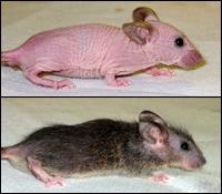 Raton calvo y raton tratado