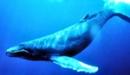 ballena jorobada wiki