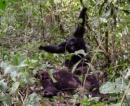 guerras chimpances