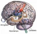 hipocampo humano