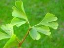 hojas de ginkgo