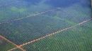 plantacion de palmas