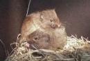ratones de las praderas