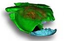 sibyrhynchus denisoni 01