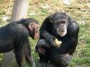 simios hablando