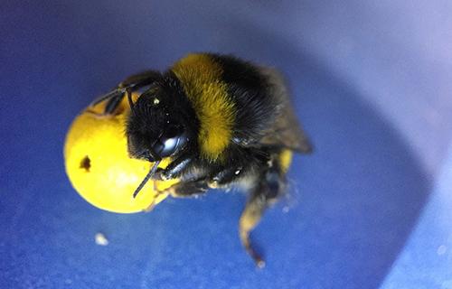 NeoFronteras » Los abejorros pueden aprender tareas de sus ...